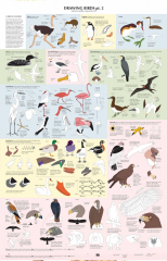 Drawing Birds Infographic Chart