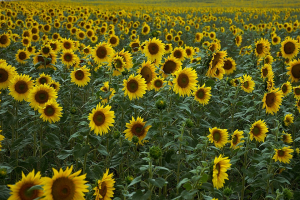 Sunflower Field Yellow Agriculture